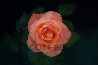 Rose with drops - blog