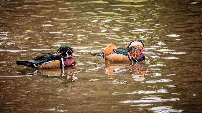 duckpond 4